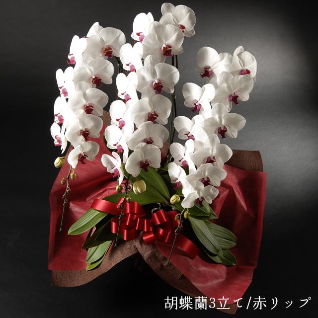 胡蝶蘭 赤リップ