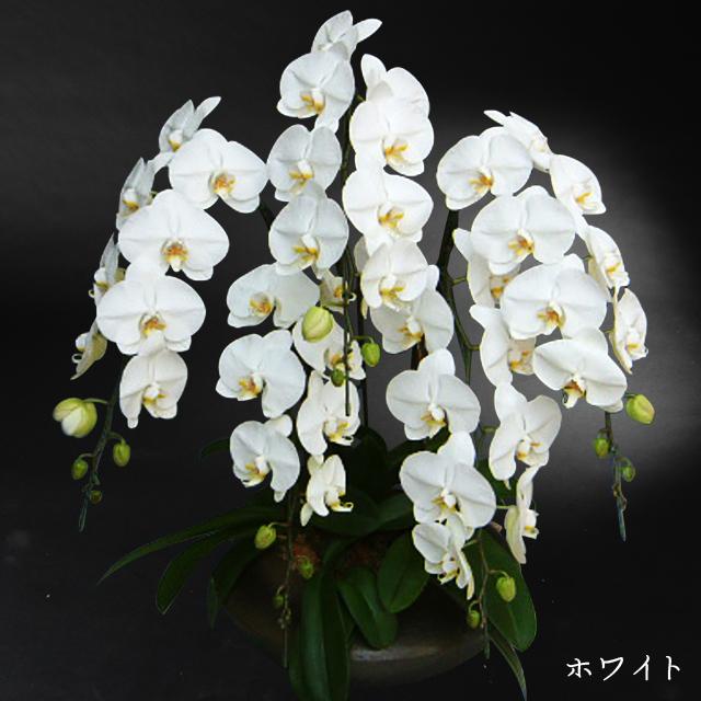 和鉢胡蝶蘭まどか ホワイト