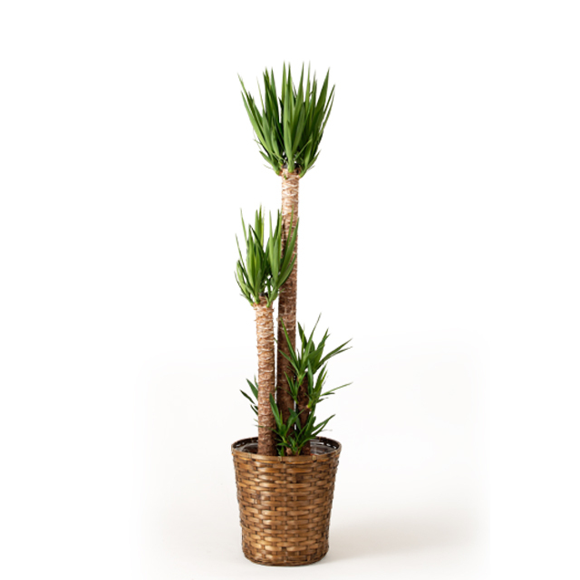観葉植物 ユッカ