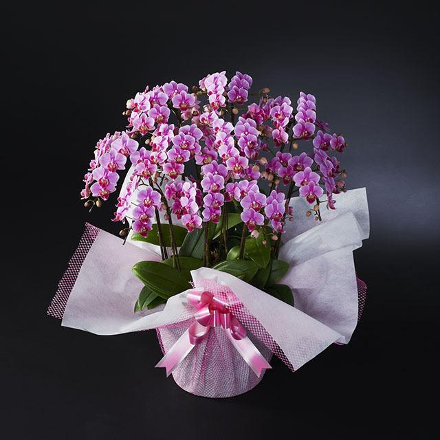 ミディ胡蝶蘭 10本立 ピンク