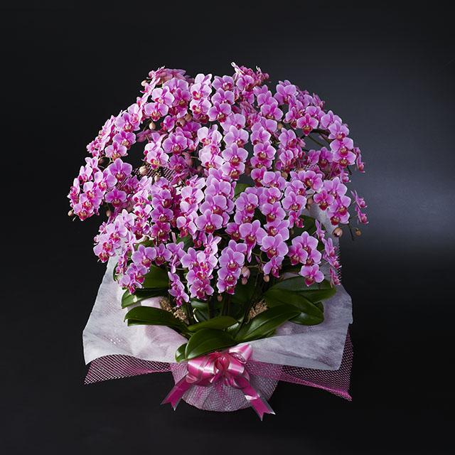 ミディ胡蝶蘭 15本立 ピンク