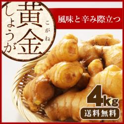 【送料無料】高知県産 黄金生姜(こがねしょうが) 4kg ≪ 国産しょうが専門 坂田信夫商店のこだわりの黄金しょうが≫