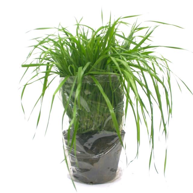 うさぎの根っこ付き生牧草 無農薬・無肥料 イタリアンライグラス[植木鉢付き]