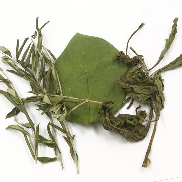オリーブ・オオバコ・柿の葉