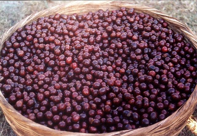 エルサルバドル シベリア農園 ハイロースト(200g)[el1] 〔コーヒー豆/パカマラ種/通販/お取り寄せ〕