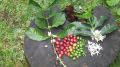 <数量限定>2012 パナマ カルレイダ農園 ゲイシャ種(100g)[pa-4] 〔コーヒー豆/予約/通販〕