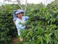インドネシア LCFマンデリン フレンチロースト(200g)[sc0010]〔スペシャルティコーヒー/深煎りコーヒー豆/お取り寄せ/通販〕