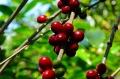 ペルー フェスパ農園 シティロースト(200g)[pe23〔南米/コーヒー豆/通販〕