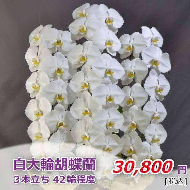 白大輪胡蝶蘭3本立42輪程度