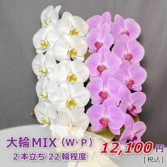 大輪MIX2本立ち 価格