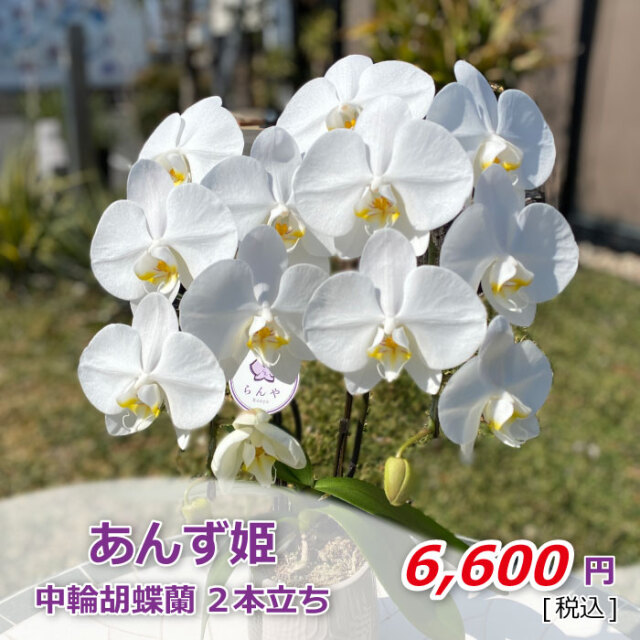 あんず姫1株2本飾り鉢(税込)