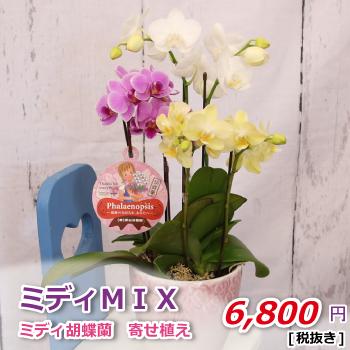 ミディ胡蝶蘭 ミディMIX 【北陸・関東甲信越・東海・関西・中国送料無料】