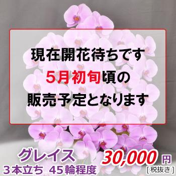 ピンク大輪胡蝶蘭 グレイス3本立ち45輪程度(つぼみ含む) /ピンク3F7L/P1057