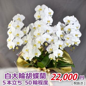 <価格改定>白大輪5f50