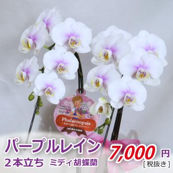 中央に入ったパープルが印象的な白いミディ胡蝶蘭