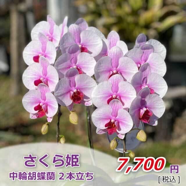 さくら姫1株2本(税込)
