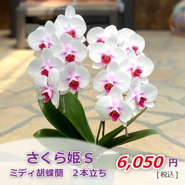 さくら姫S飾り鉢 金額2