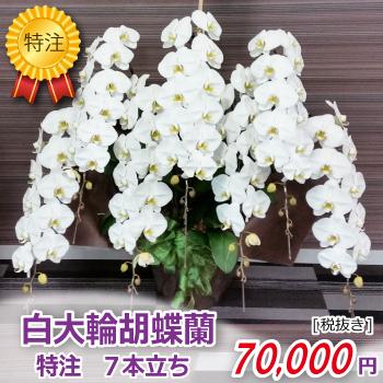 白大輪胡蝶蘭7本立ち
