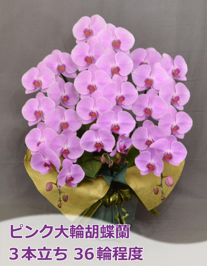 ピンク大輪胡蝶蘭 3本立ち36輪