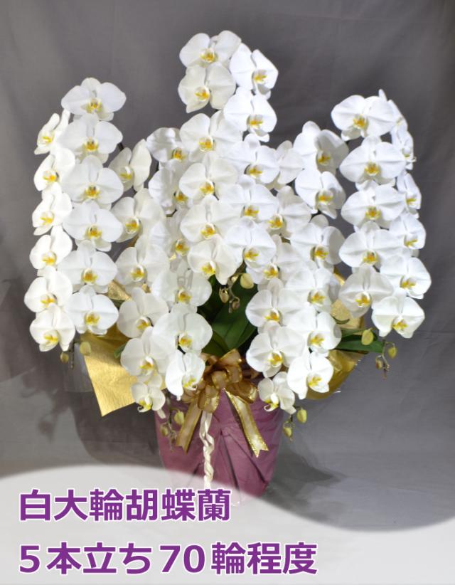 白大輪胡蝶蘭 5本立ち70輪