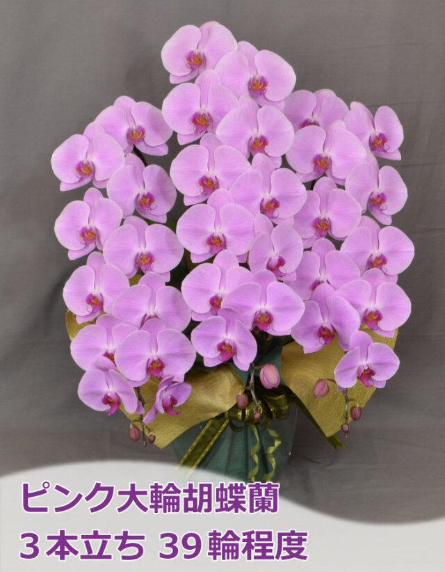 ピンク大輪胡蝶蘭 3本立ち39輪