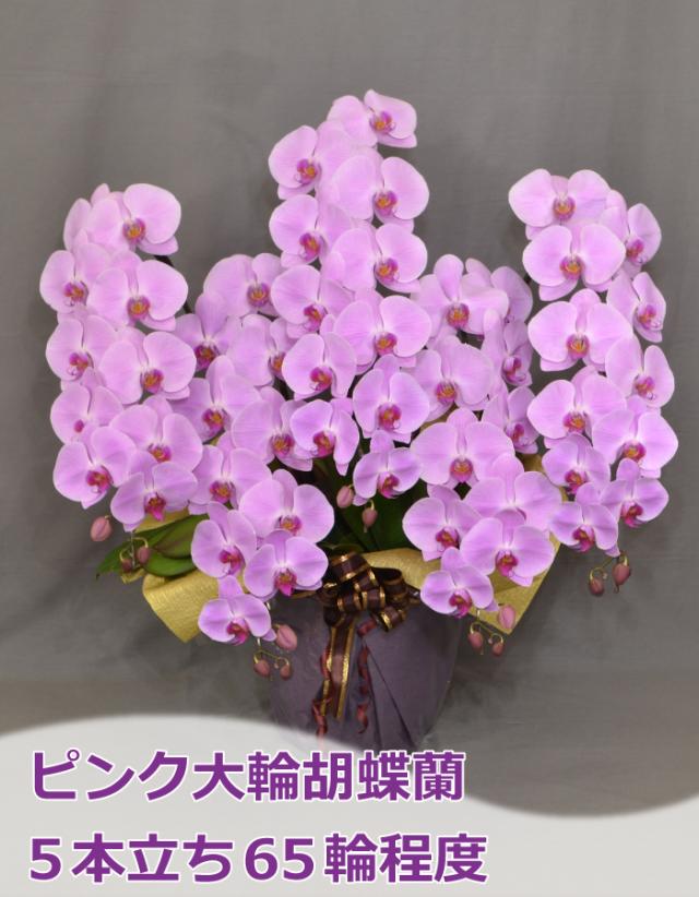 ピンク大輪胡蝶蘭 5本立ち65輪