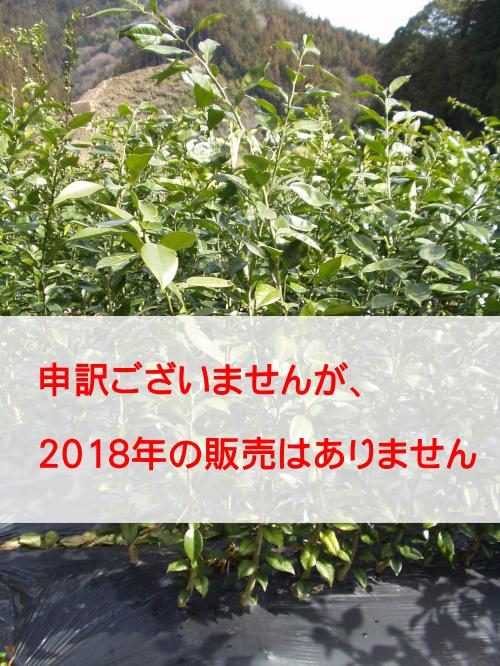 柚子(ゆず)苗木 公文系1号