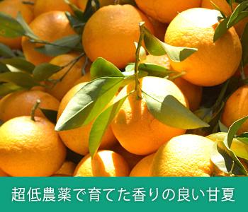超低農薬で育てた香りの良い甘夏