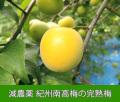 減農薬 紀州南高梅の完熟梅