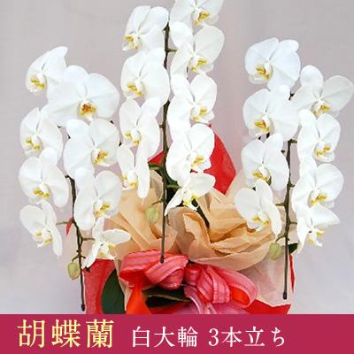 【送料無料】 胡蝶蘭 20,000円