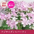 母の日 アジサイ ダンスパーティー 母の日に八重咲のボリュームのあるアジサイ 紫陽花 5号鉢