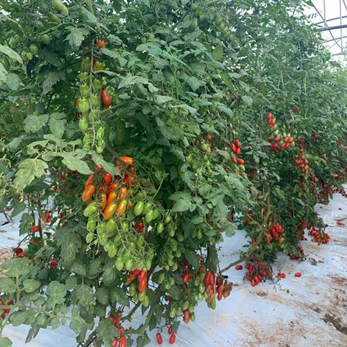 カラフルミニトマトレッド