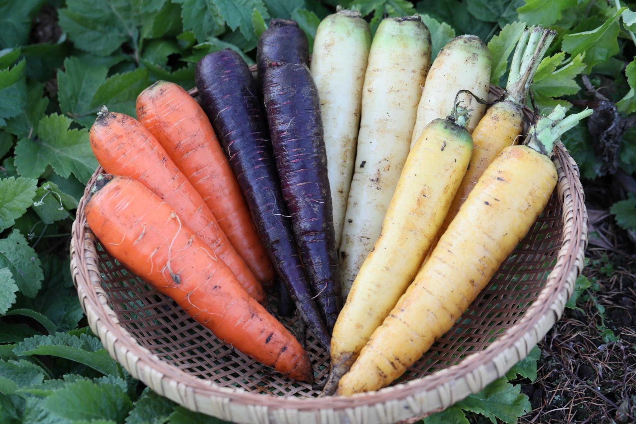 【カラー人参】 オレンジ、白、黄、紫 4色  1kg 4本~8本