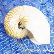 天然貝殻 シェルオブジェ 101862