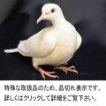 Z0810 手品用 鳩