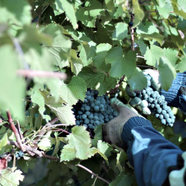 alico イタリアモデナ産 バルサミコ酢 原料のぶどう収穫風景