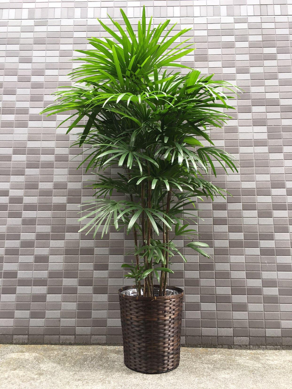 1302 シュロチク 10寸 バスケット付き 和風観葉植物