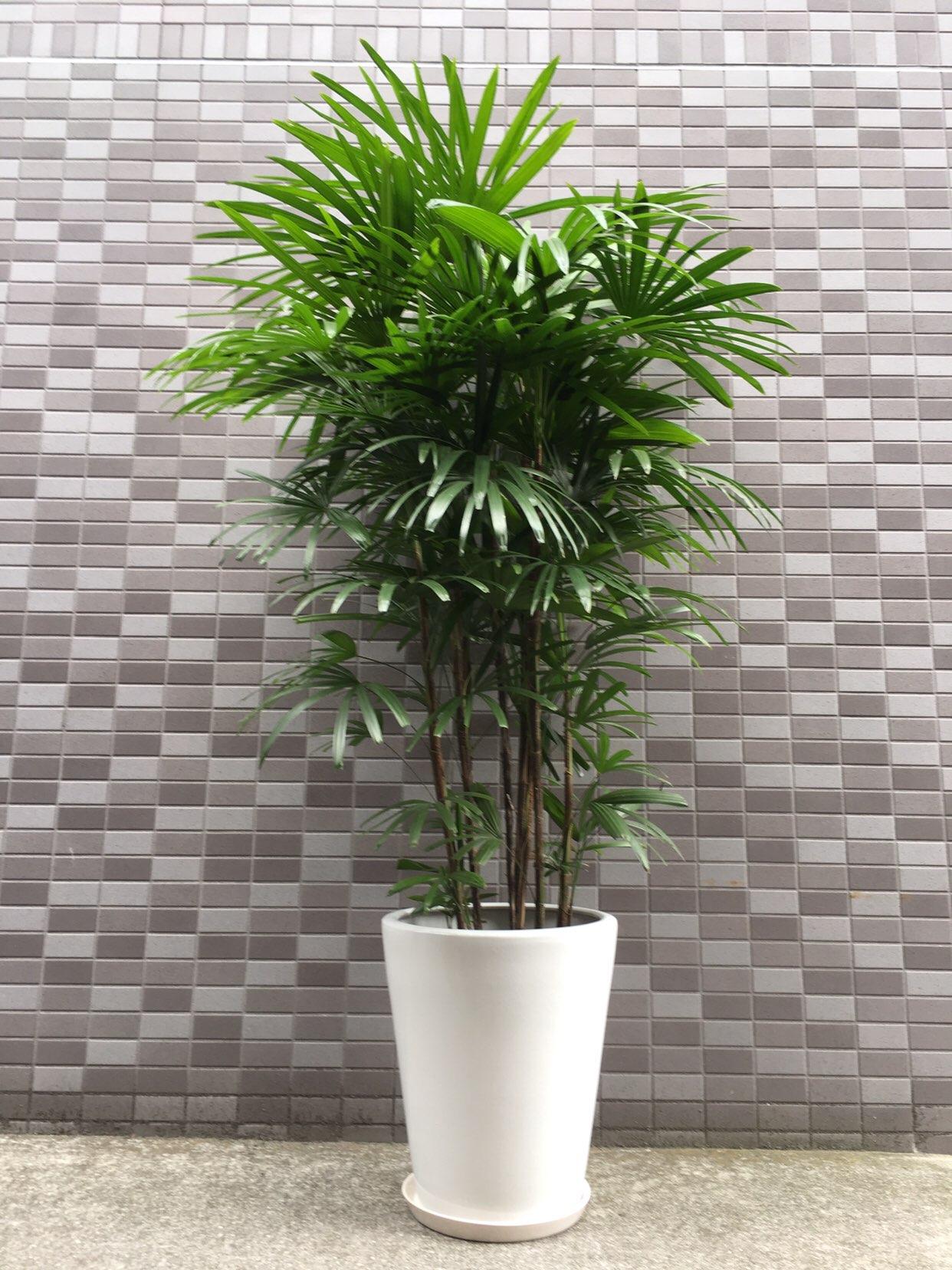1303 シュロチク 10寸 白陶器鉢 和風観葉植物
