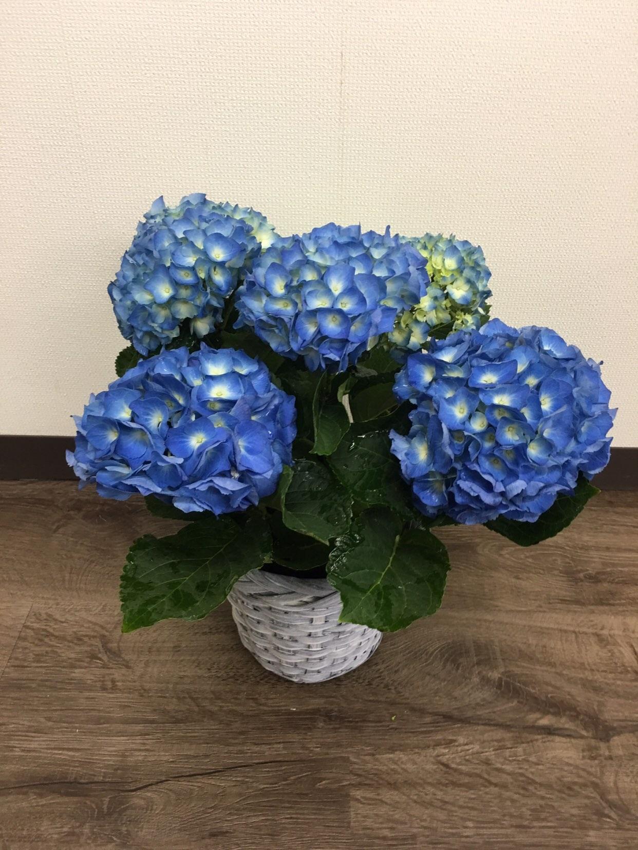 アジサイ【ブルー】 3279
