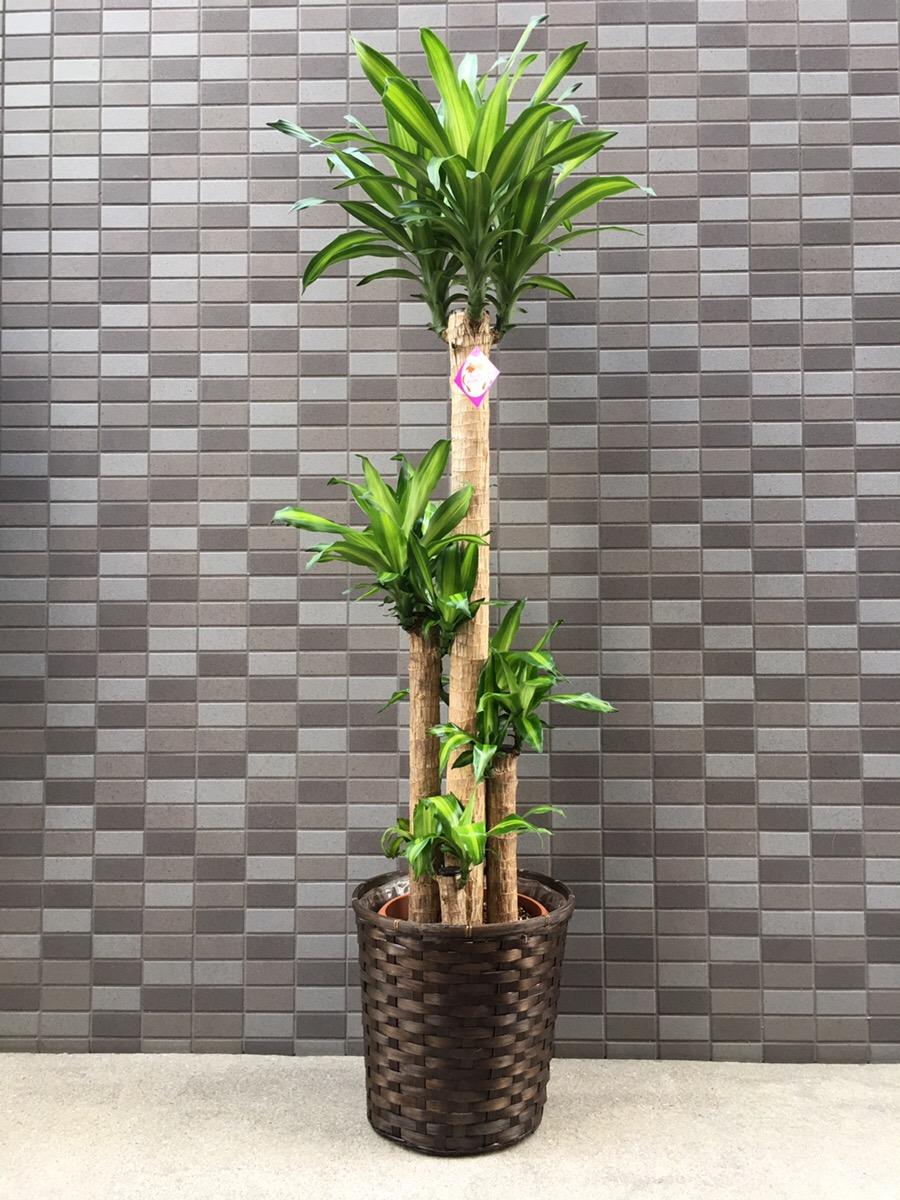 3401 幸福の木【ドラセナ・マッサン】 カゴ 大