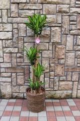 幸せを呼ぶ観葉植物『マッサン』