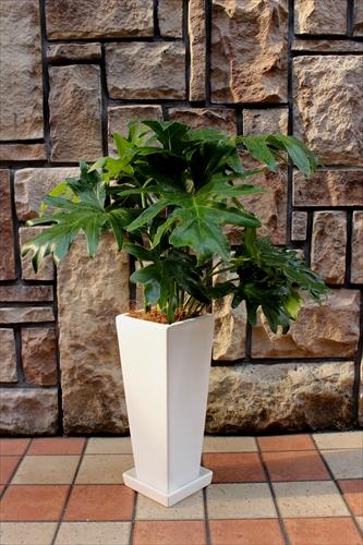 スタイリッシュな観葉植物【セローム白陶器鉢】