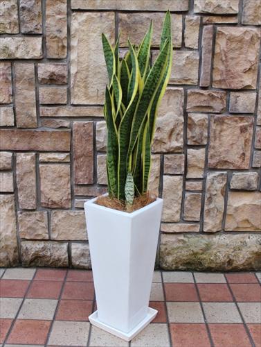 スマートな雰囲気の観葉植物 サンスベリア【白陶器鉢】