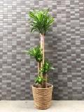 3402 幸福の木【ドラセナ・マッサン】 高級カゴ 大