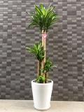 3403 幸福の木【ドラセナ・マッサン】 白陶器鉢 大