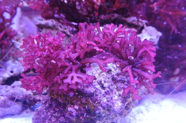 紅藻(ヒラガラガラ)