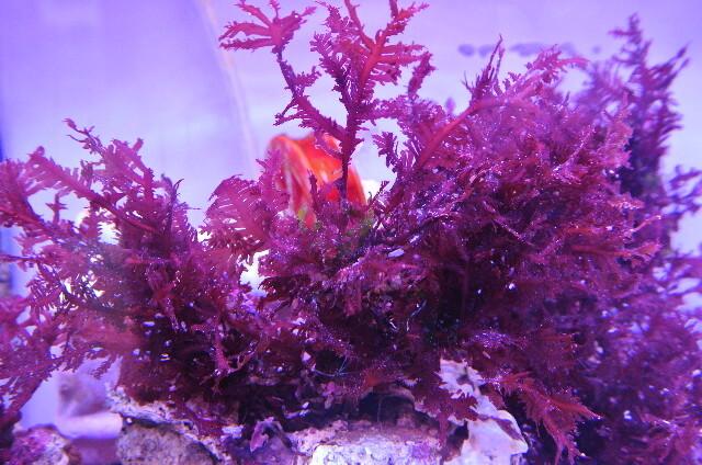 紅藻(レッドフェザープランツ)