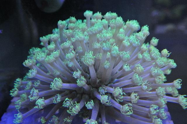 コモチハナガササンゴ(極美メタリックグリーン)