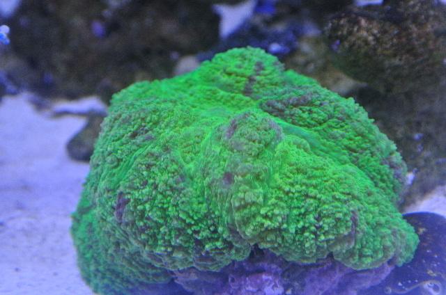 ハナガタサンゴ(メタリックグリーン)