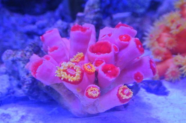 オオエダキサンゴ(ピンク 美イエローポリプ)